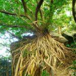 【LINEトラベルjp】みなぎる生命力!「天草のラピュタ」西平椿公園のアコウの木
