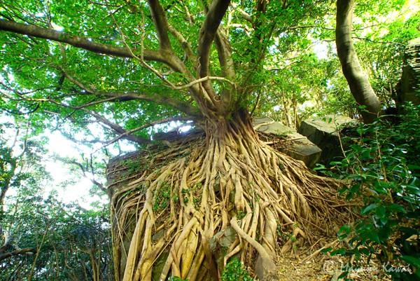 【LINE Traveljp】みなぎる生命力!「天草のラピュタ」西平椿公園のアコウの木