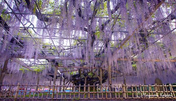 【LINEトラベルjp】樹齢400年!絢爛豪華な大藤咲き誇る埼玉加須の玉敷神社