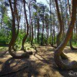 【ポーランド】何これミステリー!曲がった木の森「クシュヴィ・ラス」