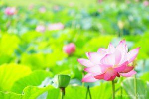 【トラベルjp】花言葉に願いを込めて 埼玉行田「古代蓮の里」と田んぼアート