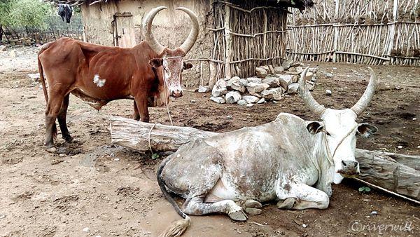 【エチオピア・エルタ・アレ火山】村の家畜の牛がなんだか神々しい