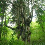 【TABIPPO】今こそ行きたいパワースポット。神々の棲む島・隠岐へ、神宿る木々をたずねて