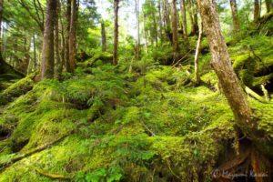 【トラベルjp】飛騨の奥座敷!乗鞍山麓・五色ヶ原の原生林とゴスワラの森を歩く